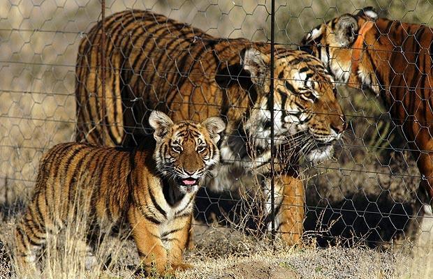 south-china-tigerb_981571i