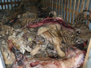 Tiger-bodies-in-cold-storage-Guilin-Tiger-Bear-Farm-Jul-07-c-Belinda-Wright-WPSI