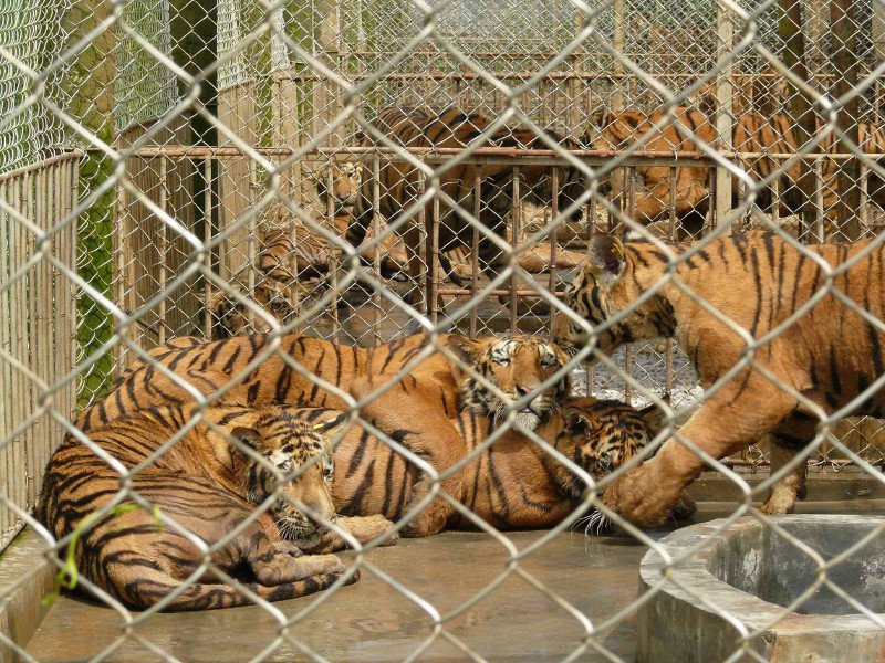 tiger_cages