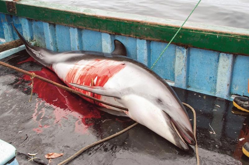 Dead_Dusky_dolphin_02__S_Austermühle_Mundo_Azul_cr.jpg