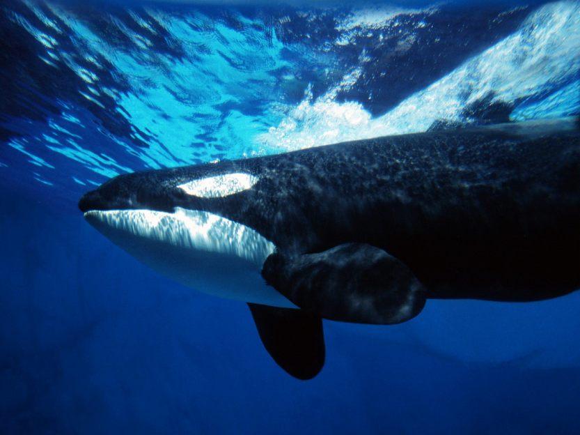 orca-whale_00289875.jpg