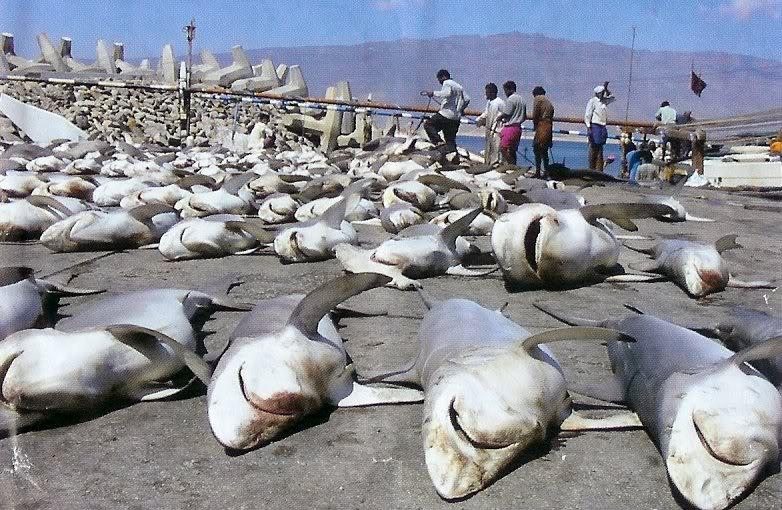 shark-finning1.jpg