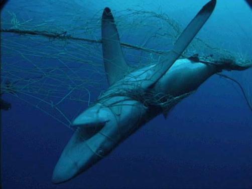 shark-finning2.jpg