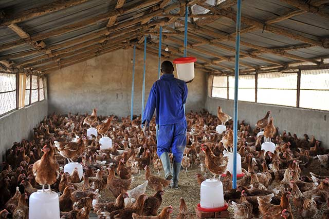 avian-flu-Chad_poultry_Sia_Kambou