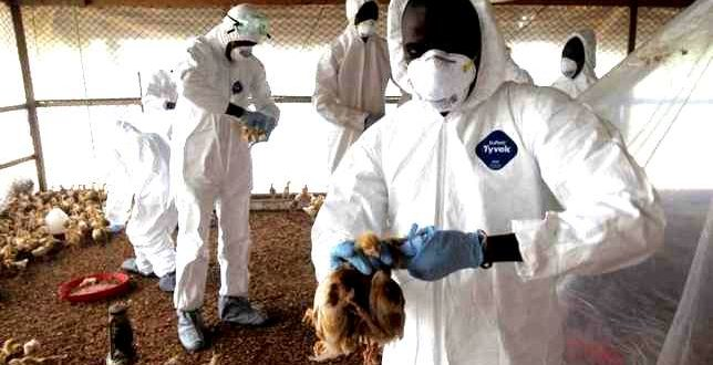 Bird-flu-outbreak-in-west-Africa-raises-worries-about-food-and-livelihoods-644x330