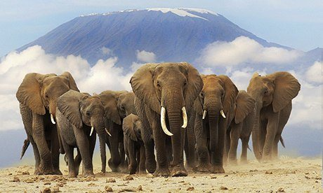 African-elephants-in-fron-009.jpg