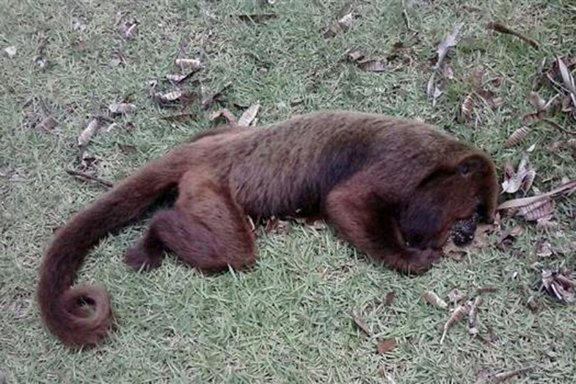 howler-dead-from-yellow-fever-1-sergio-mendes-projeto-muriqui-es.jpg