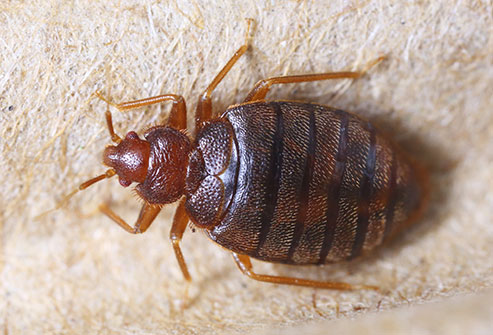 getty_rm_photo_of_bed_bug_closeup.jpg