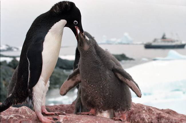 1024px-Antarctic_adelie_penguins_js_21_jpg_650x0_q70_crop-smart