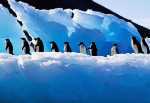 1_adelie_penguin