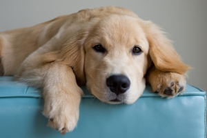 Golden retriever puppy at rest