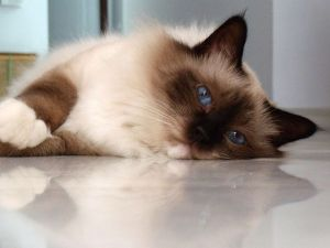2968f80ee7c976b5f2fa15d6175592f0--birman-cat-future-cat