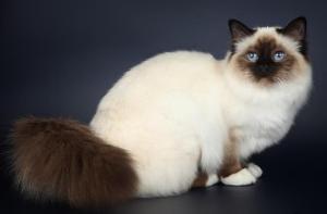 Beautiful-Seal-Point-Birman-Cat