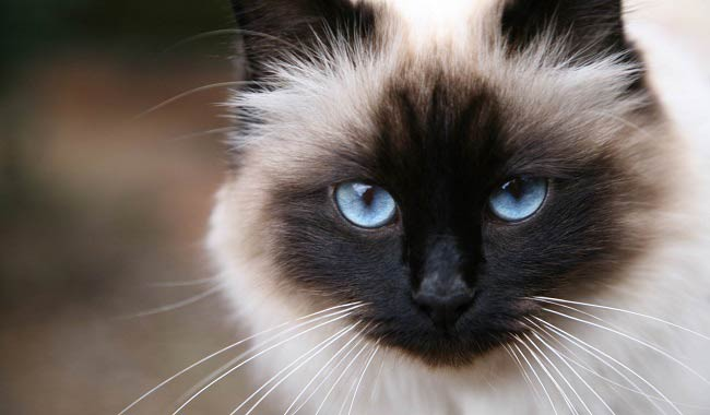 sacred-birman-cat-5