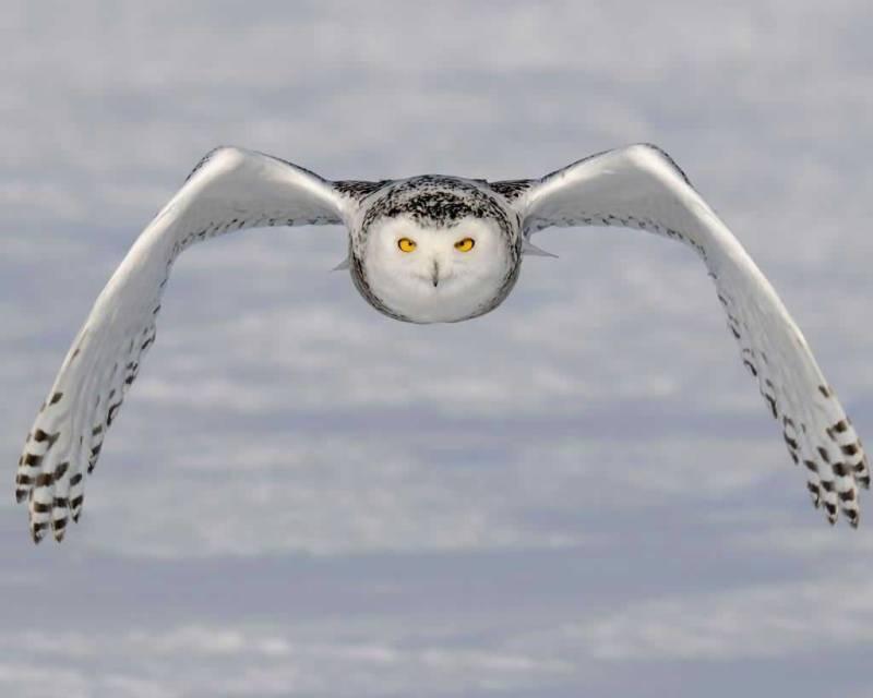 Snowy_Owl_l27-1-009_l