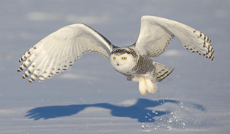 SnowyOwl-Mandel
