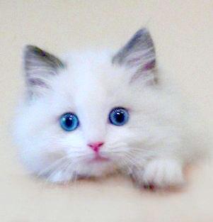 8f22dd97dbdd6e8bdda860c408afa4cc--teacup-persian-cats-ragdoll-kittens