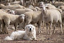 Great_Pyrenees_Sheep_Dog_Guarding_the_Flock_(5113678413)