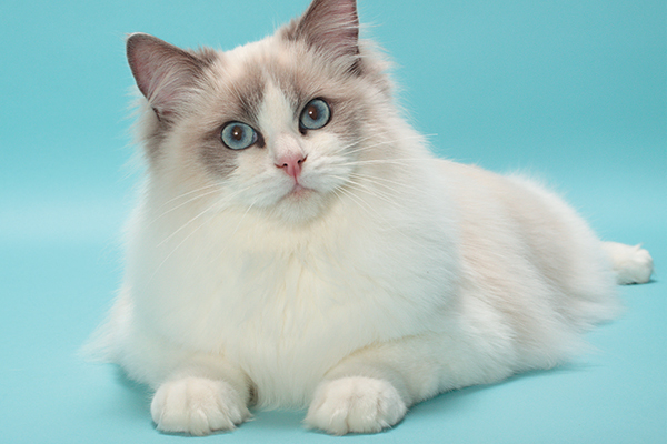 Ragdoll-cat-on-blue-backdrop-