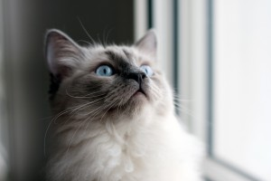 SoPurrfect-What-You-Need-To-Know-About-Owning-A-Ragdoll-Cat-